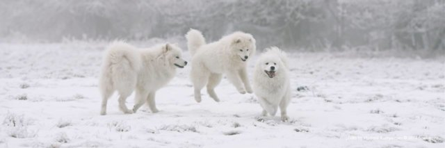 Happy samoyeds