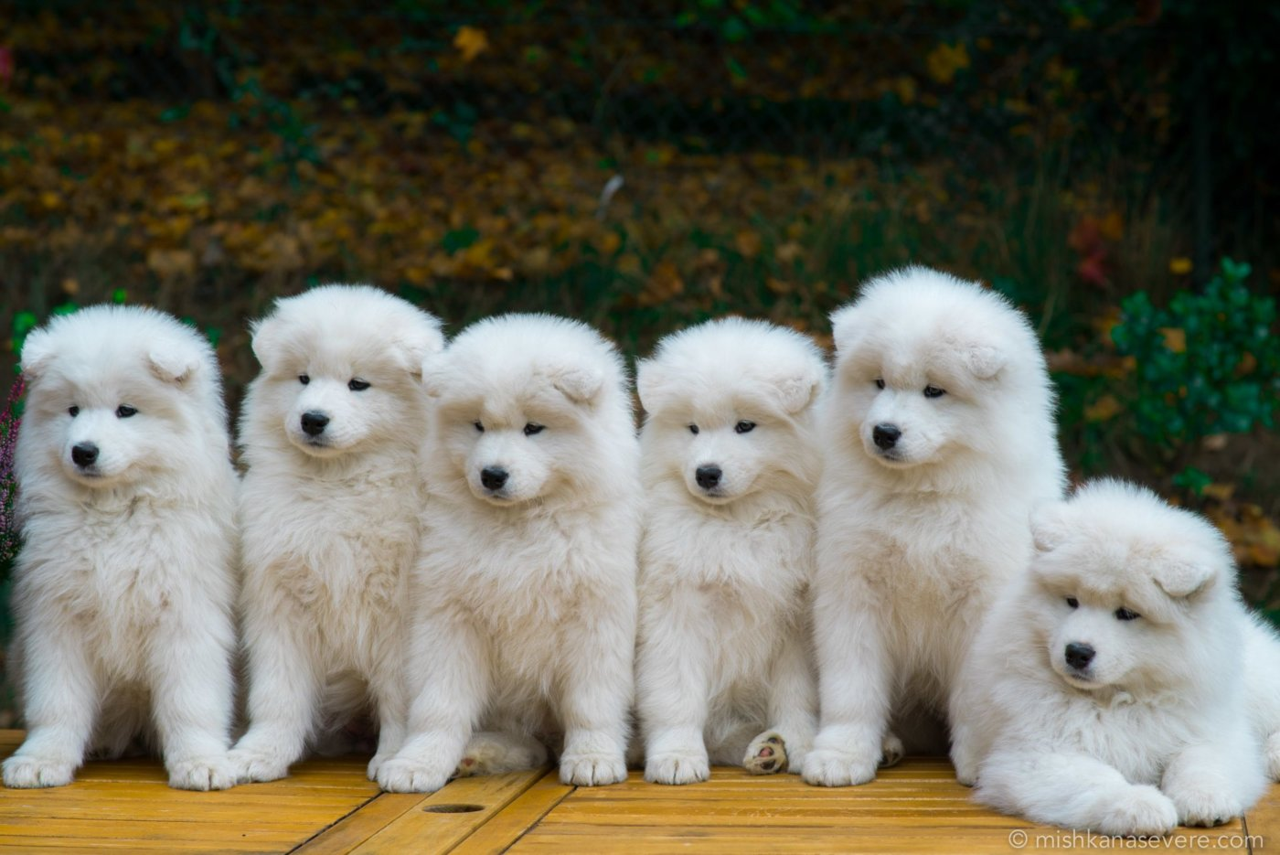 Samoyeds kennel Mishka na Severe - Samoyed puppies